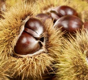 bigstock-Fresh-Shiny-Chestnuts-In-Husks-52033084